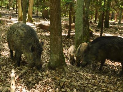 V oblasti intenzivního lovu, bylo již uloveno 795 divokých prasat