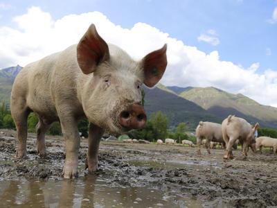Belgie kvůli výskytu prasečího moru porazí tisíce zvířat