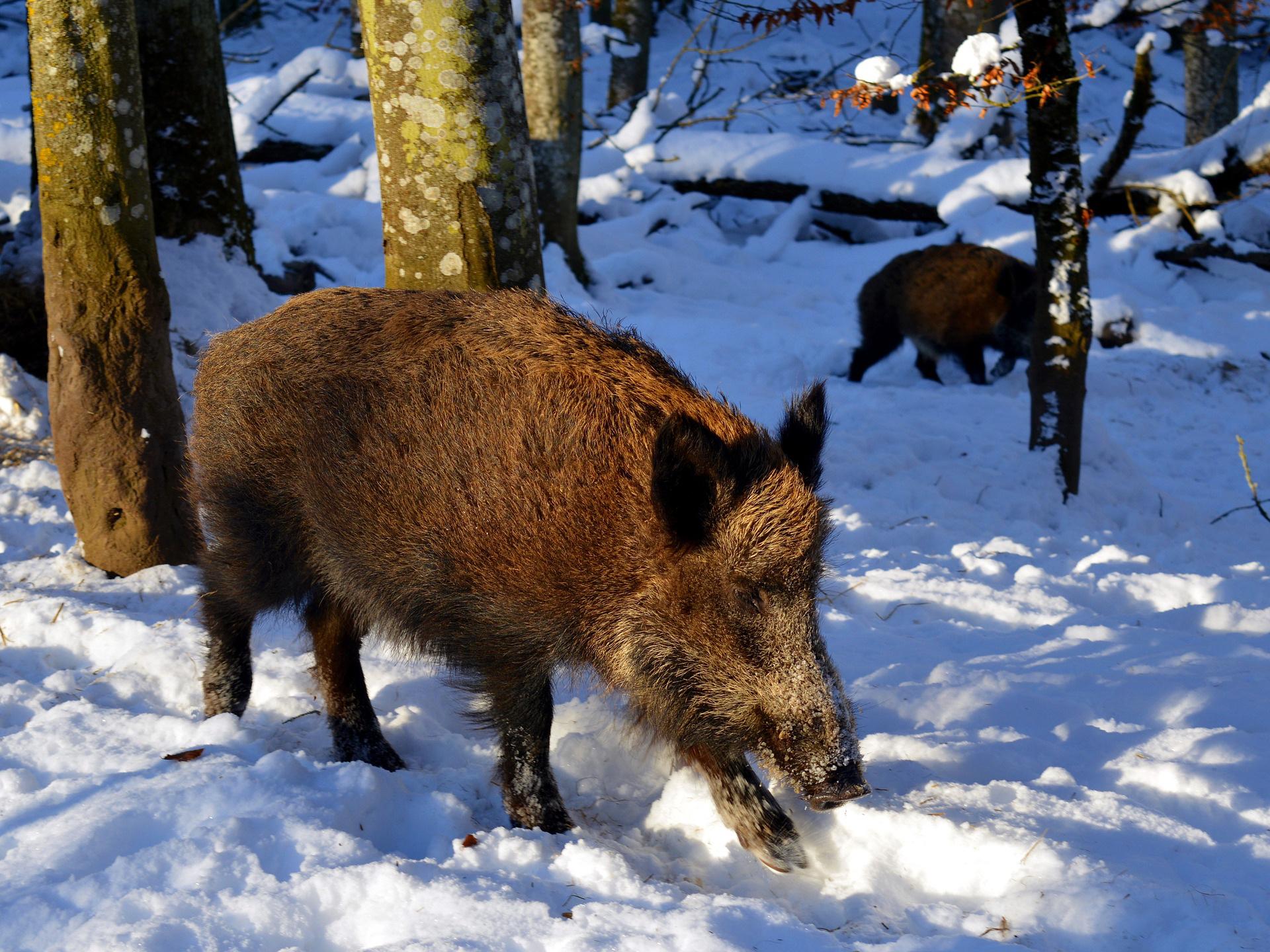 Opatření kvůli moru prasat by mohla na Zlínsku skončit v únoru