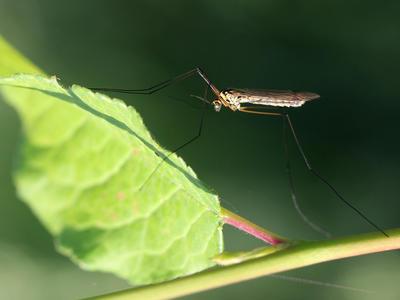 Mohou AMP přenášet komáři?