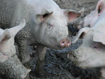 Belgie: 457 uhynulých divočáků, masný průmysl v krizi