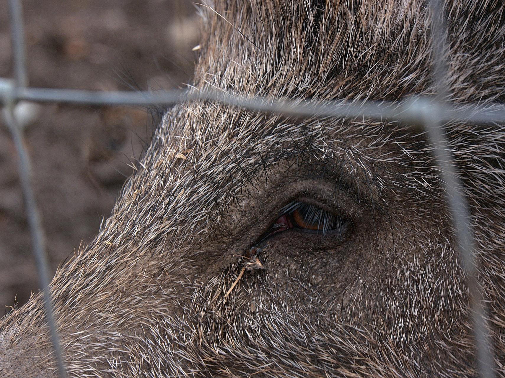 Dánští ministři kontrolovali plot proti divočákům u německé hranice