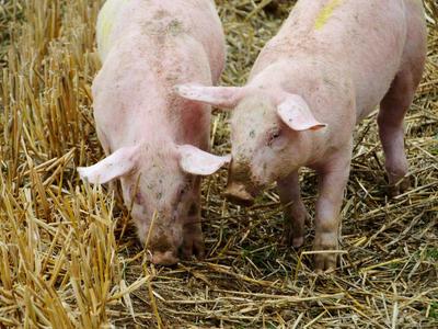 Belgie: Chovatelé prasat mají finanční problémy