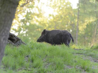 V Polsku se situace zhoršuje. V chovu 8 000 prasat vypukl africký mor prasat