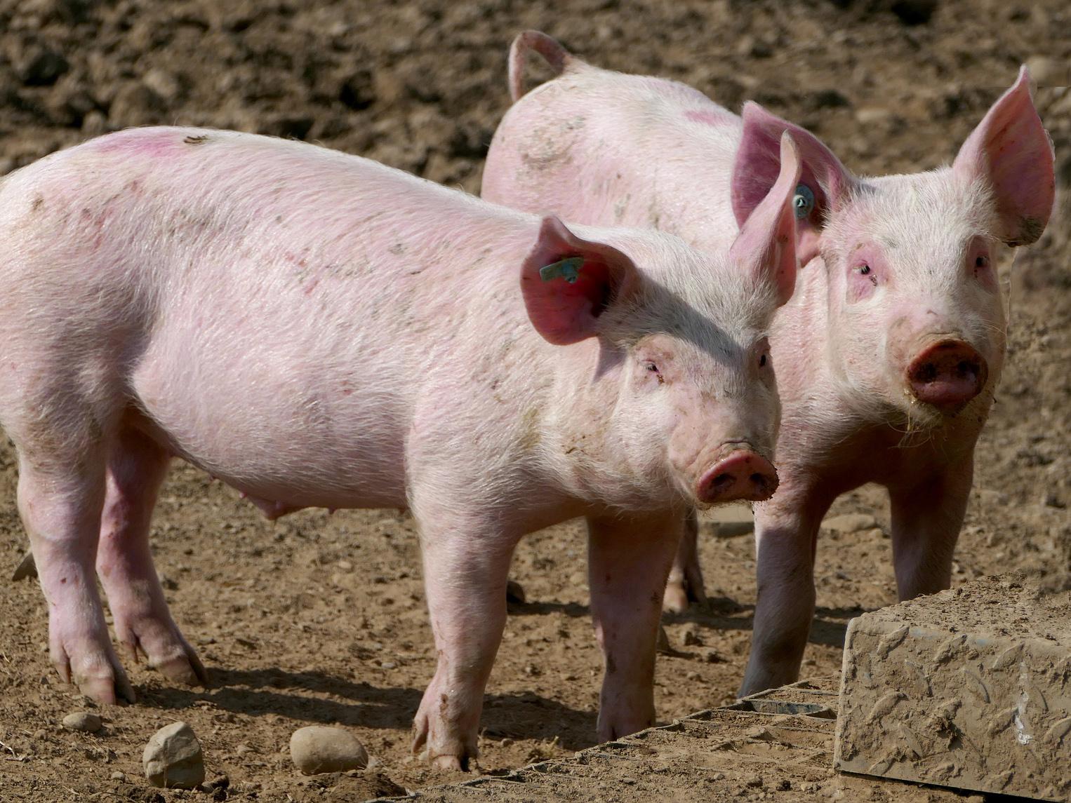 Polsko: Nákaza na dalších 2 farmách, veterinář u soudu