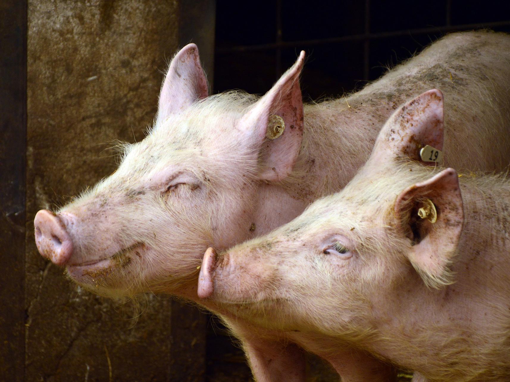 Na farmě v Bulharsku zlikvidují kvůli moru 17 000 prasat