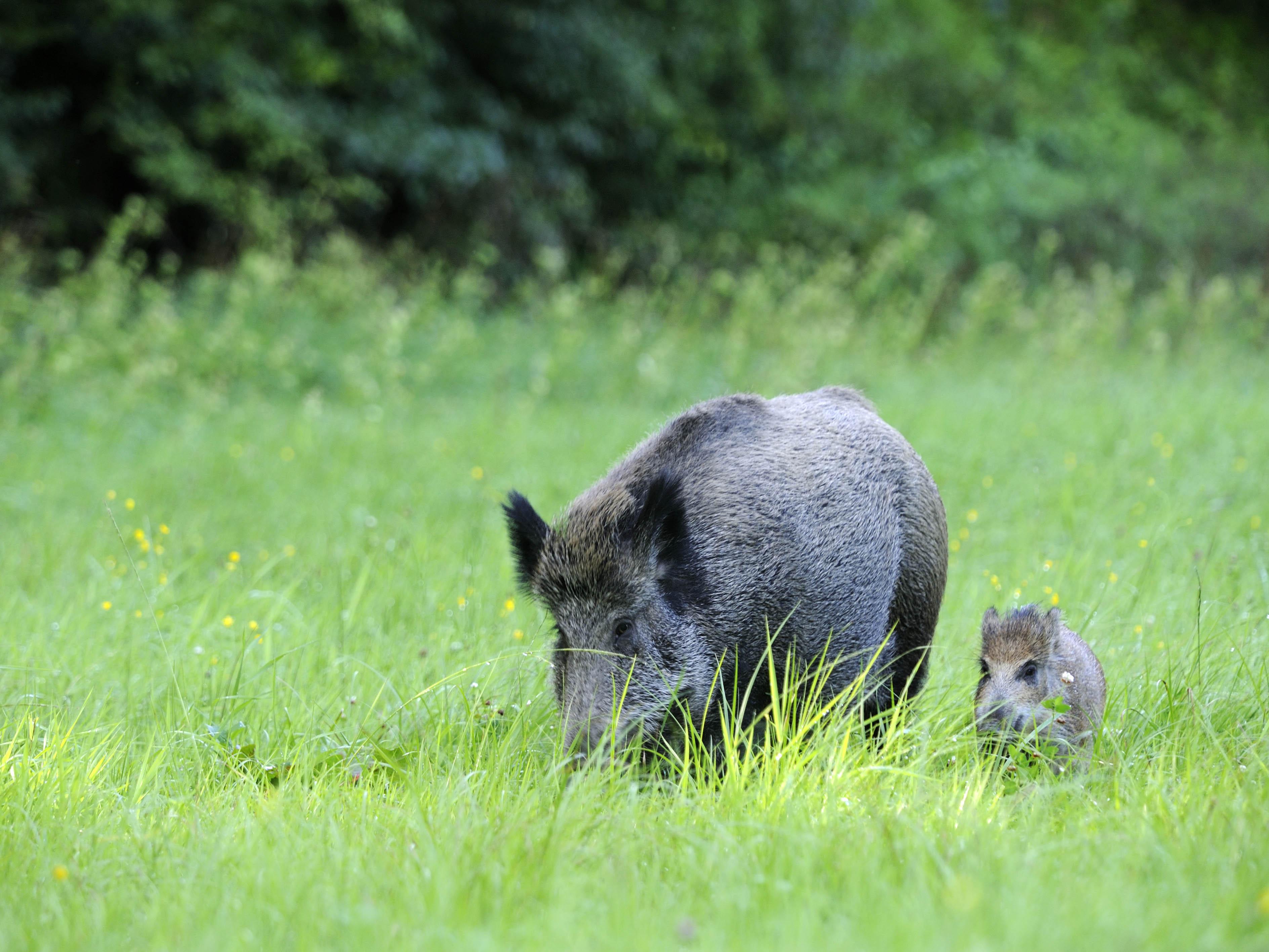 V Německu cvičí psy na vyhledávání uhynulých divočáků