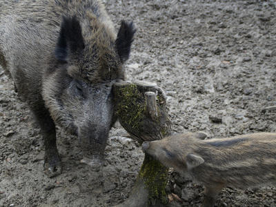 Kolik divočáků je v přírodě normální, ptají se státy Evropské komise