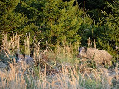 80 km od německých hranic bylo nalezeno devět uhynulých divočáků