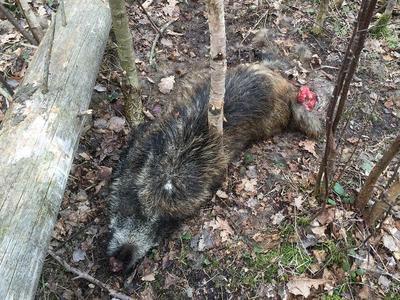 AMP na Slovensku: nález většího počtu uhynulých divočáků v okolí Košic