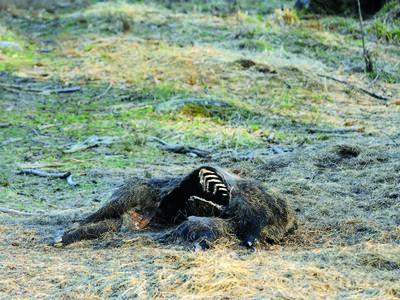 Uhynulý divočák byl nalezen 10 km od německo-polské hranice