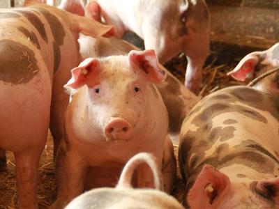 V Polsku izolovali kvůli africkému moru 450 chovů prasat