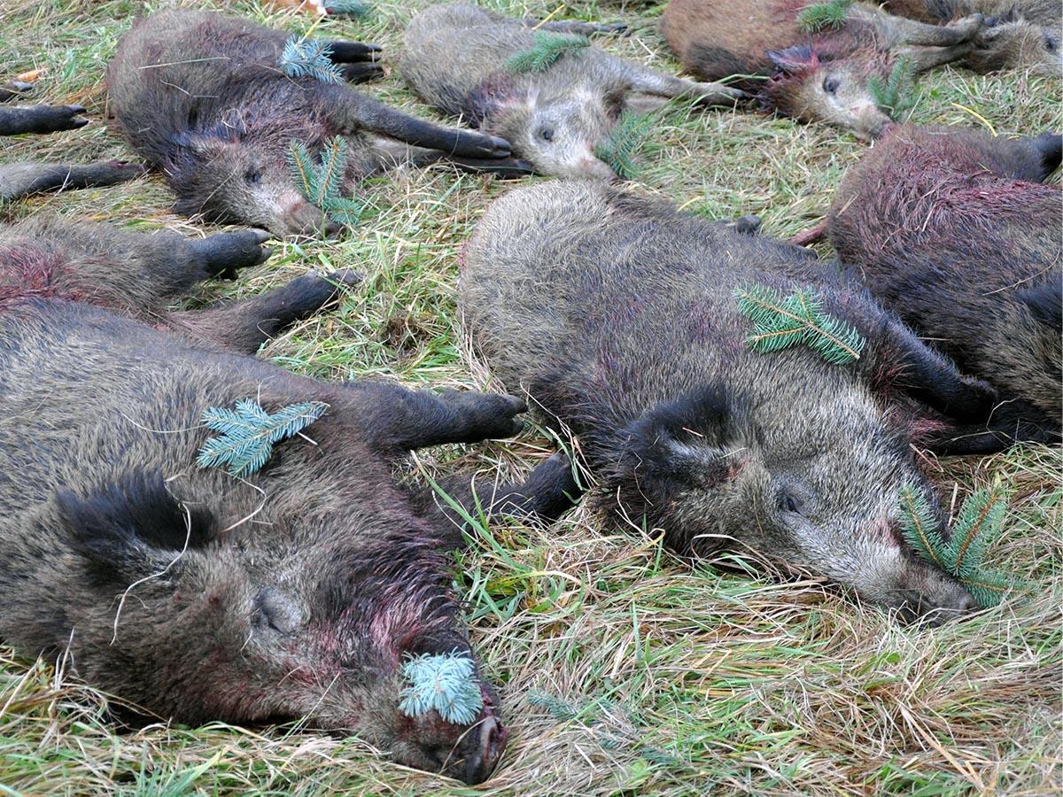 Myslivci ze severu Čech vloni zažádali o zástřelné za téměř 600 divočáků