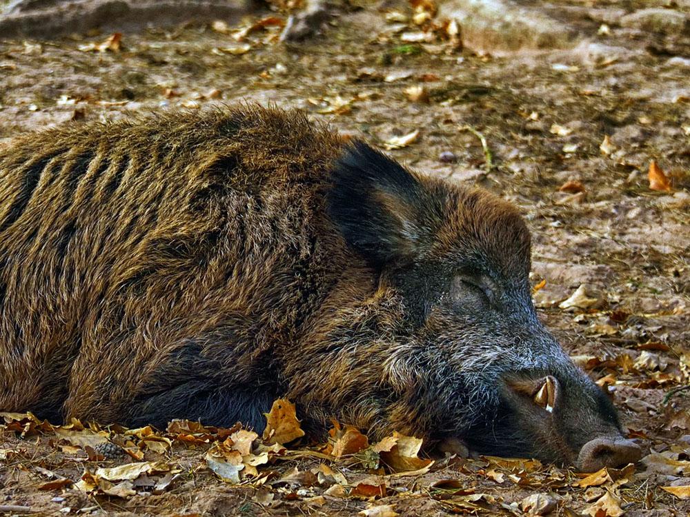 Meziroční nárůst případů AMP u černé zvěře v Evropě